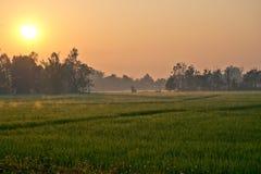 Поле риса в moring Стоковое Изображение RF
