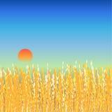 Поле риса в twilight предпосылке Стоковое Изображение
