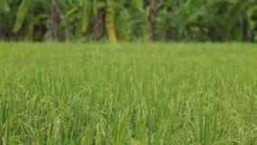 Поле риса жасмина видеоматериал
