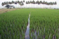 Поле риса затопило с водой и пальмами на заднем плане Стоковые Фотографии RF