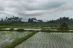 Поле риса, затопленное с водой: ровные строки зеленых всходов риса, разделяя нашивки с обильной травой, на заднем плане сватать Стоковое Изображение RF