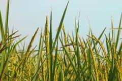 поле риса, зеленая предпосылка природы Стоковое Изображение