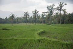 Поле риса зеленеет и кончается около высокорослых пальм Сингапура Стоковые Изображения RF