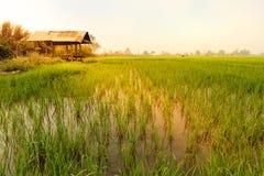 Поле риса и коттедж стоковые фотографии rf