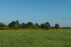 Поле риса и небо bule стоковое изображение