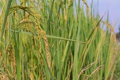Поле риса (малая глубина поля) Стоковые Фото