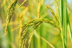 Поле риса, мягкий фокус Стоковые Фотографии RF
