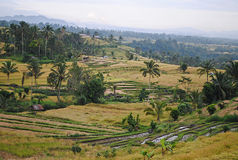 Поле риса на Бали Стоковые Фотографии RF