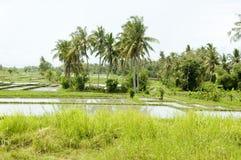 Поле риса на Бали Стоковые Изображения