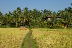 Поле риса на заднем плане ладоней кокоса Стоковая Фотография RF
