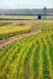 Поле риса на земле Стоковые Изображения