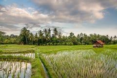 Поле риса на Ubud, Бали Стоковые Фото