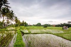Поле риса на Ubud, Бали Стоковая Фотография
