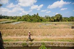 Поле риса на Ubud, Бали Стоковое Фото