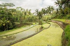 Поле риса на Ubud, Бали Стоковые Фотографии RF