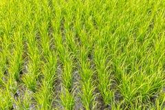Поле риса, остров Бали, Индонезия Стоковое Фото