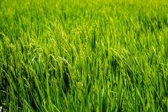 Поле риса, остров Бали, Индонезия Стоковые Изображения