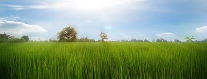 Поле риса, панорама Стоковые Изображения RF