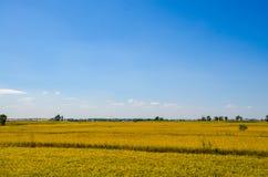 Поле риса под голубым небом Стоковые Изображения RF