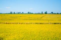 Поле риса под голубым небом Стоковые Изображения