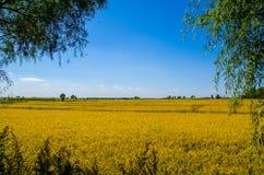 Поле риса под голубым небом Стоковое Изображение