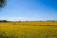 Поле риса под голубым небом Стоковое фото RF