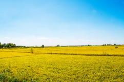 Поле риса под голубым небом Стоковая Фотография
