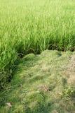 Поле риса с текстурой предпосылки фермы земледелия зеленой травы от ТАИЛАНДА Стоковая Фотография RF