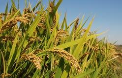 Поле риса Стоковые Изображения RF