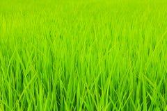 Поле риса Стоковая Фотография