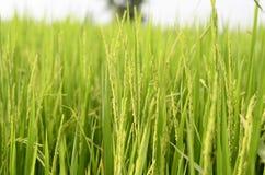 Поле риса Стоковое Изображение RF