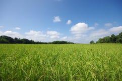 Поле риса Стоковые Изображения
