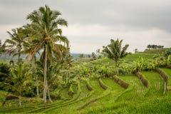 Поле риса Jatiluwih, Индонезия Стоковое Изображение RF