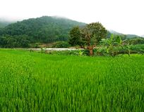 Поле риса, PA Sa, Вьетнам Стоковые Фотографии RF