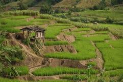 Поле рисовых полей и малая хата Стоковые Фотографии RF