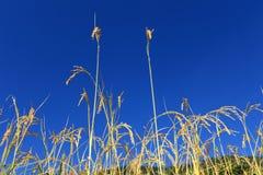 Поле рисовых полей террасы, Непал Стоковое фото RF