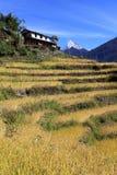 Поле рисовых полей террасы, Непал Стоковые Изображения RF