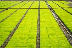 Поле рисовых полей cultivest Стоковая Фотография RF