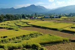 Поле рисов Стоковые Фото