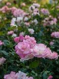 Поле розовых роз Стоковые Фотографии RF