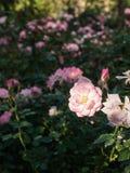 Поле розовых роз Стоковая Фотография