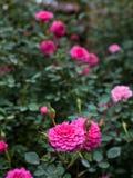 Поле розовых роз Стоковая Фотография RF