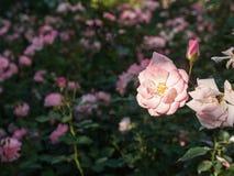 Поле розовых роз Стоковое Изображение