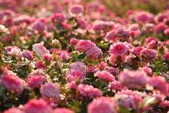 Поле розы пинка Стоковое Изображение RF