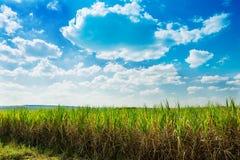 Поле сахарного тростника в голубом небе стоковое фото rf