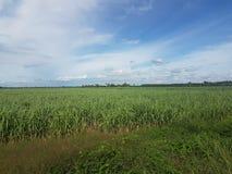 Поле сахарного тростника в сельской местности Таиланда Стоковое Изображение