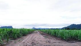 Поле сахарного тростника в Таиланде Стоковое Фото