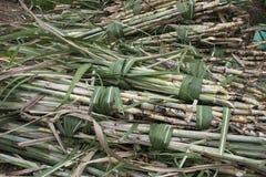 Поле сахарного тростника Стоковые Фото