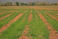 Поле сахарного тростника Стоковое фото RF