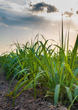 Поле сахарного тростника Стоковые Изображения